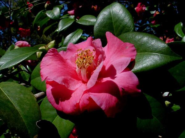 Camellia, Rip Van Winkle Gardens