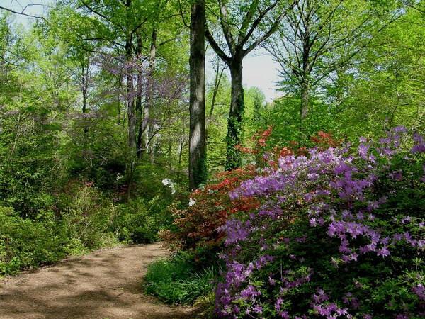 Azaleas, McCrillis Gardens