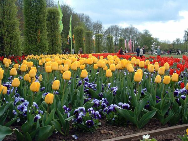 Tulips, Springfields Festival Gardens