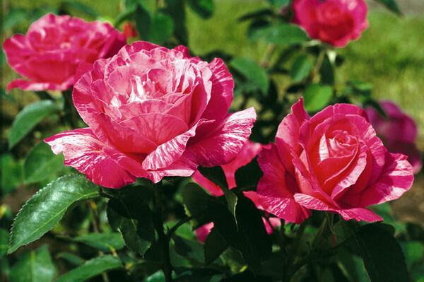 Roses, Roger-Van den Hende Botanical Garden