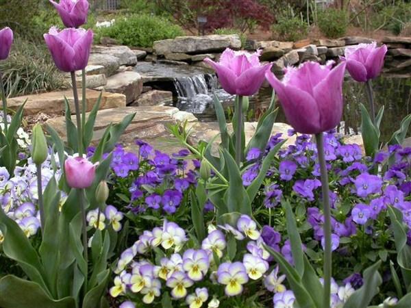 Tulips, Huntsville Botanical Garden