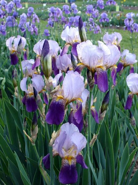 Presby Iris Gardens, Essex County