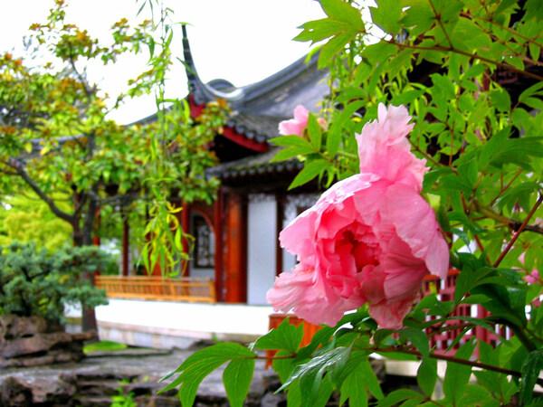 Peony, Sun Yat-Sen Classical Chinese Garden
