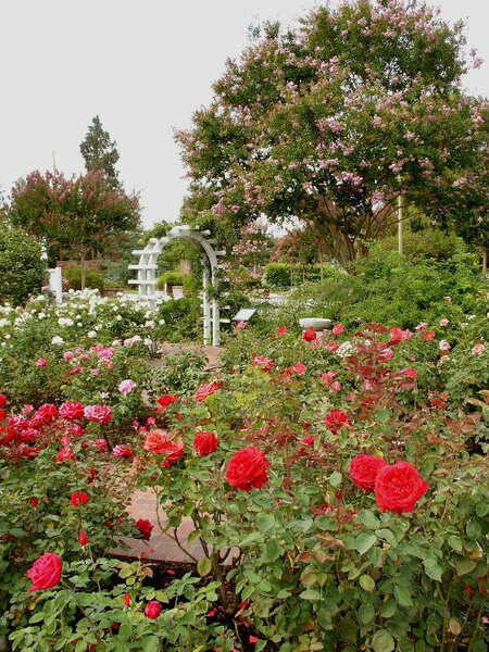 Roses, Luther Burbank Garden