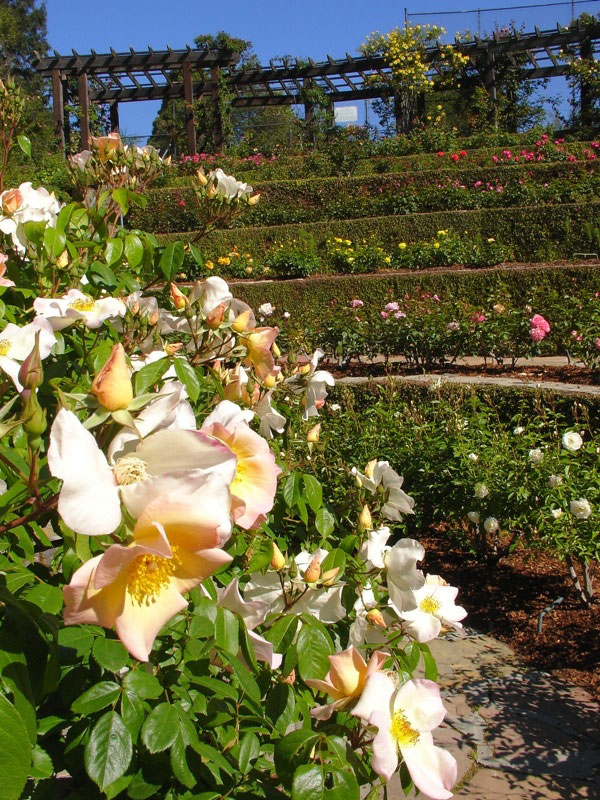 Roses, Berkeley Rose Garden