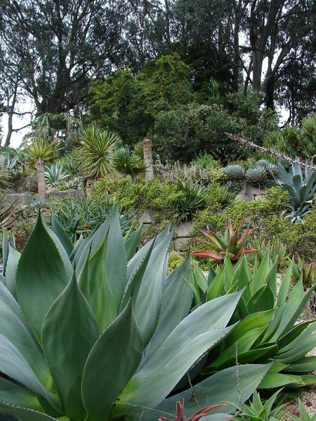 Succulents, San Francisco Botanical Garden