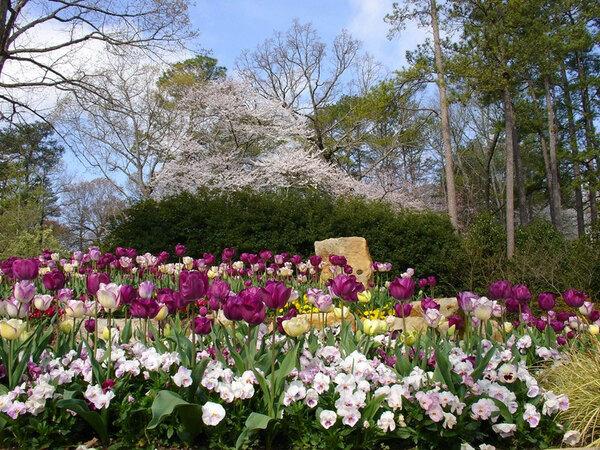 Tulips, Birmingham Botanical Gardens