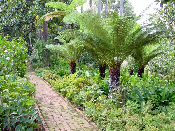 Tree Ferns, Virginia Robinson Gardens