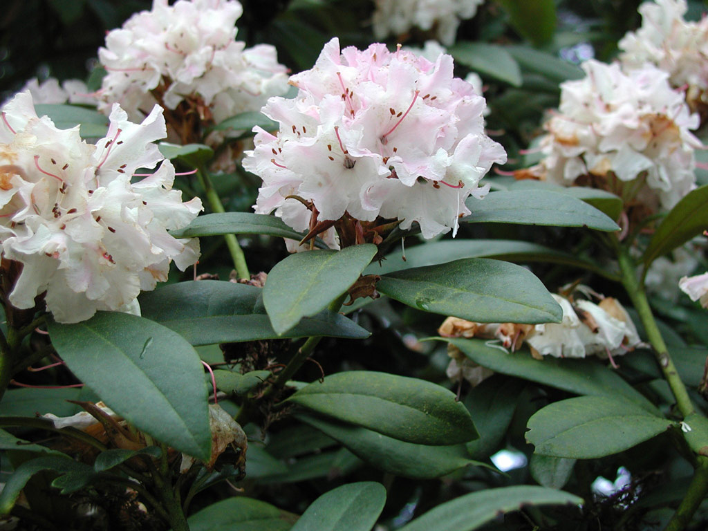 Rhododendron, Carl S. English Jr. Botanical Garden