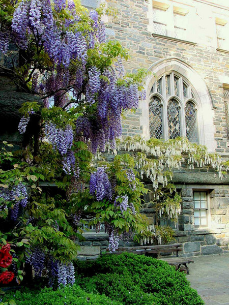 Wisteria, National Cathedral Gardens