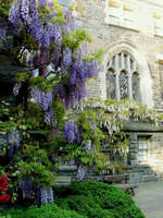 Medium national cathedral wisteria original