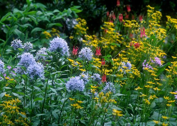 Amsonia, Brandywine Conservancy Wildflower and Native Plant Gardens