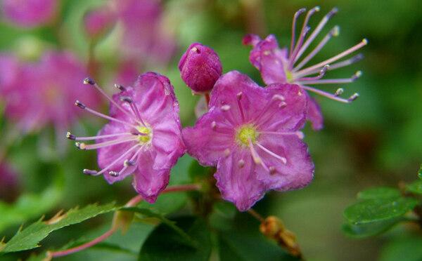 Kalmiopsis Leachiana, Leach Botanical Garden