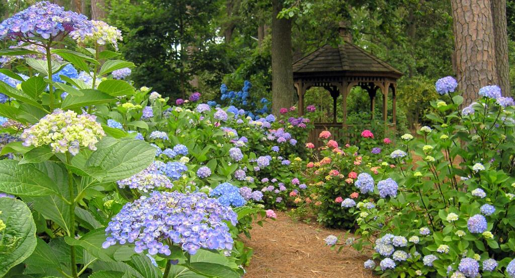 Hydrangeas, Norfolk Botanical Garden
