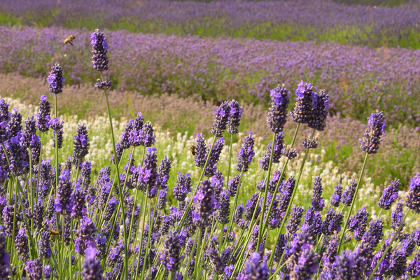 Norfolk Lavender Garden Ian-S