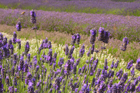 Medium norfolk lavender garden 653 jpg original