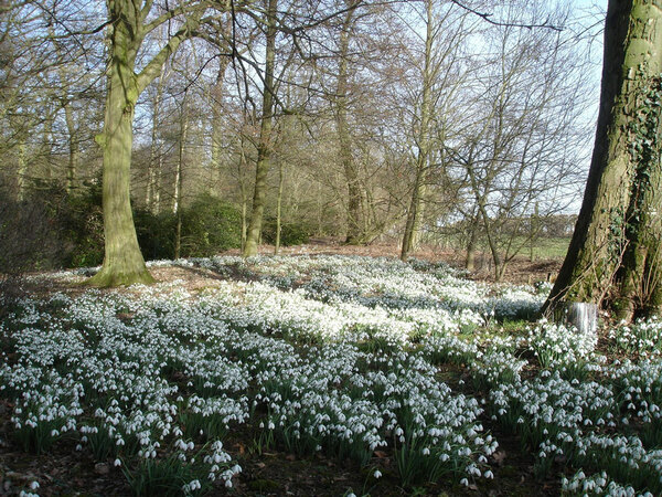 Snowdrops, Evenley Wood Garden