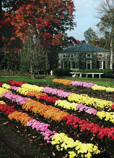 Chrysanthemums, E I du Pont Garden