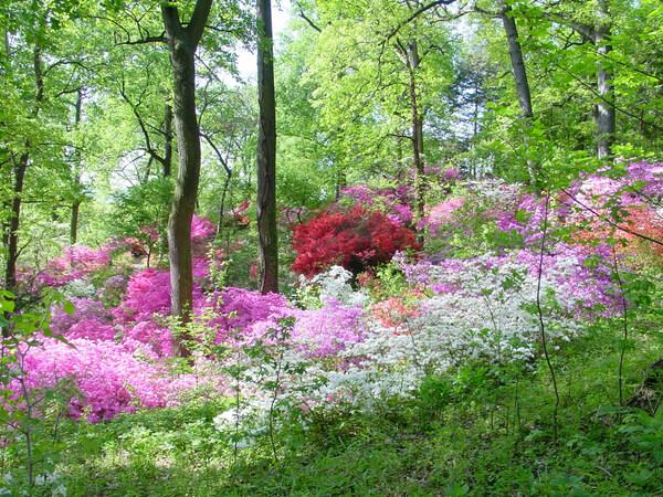 Azaleas, US National Arboretum Garden