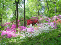 Medium us national arboretum azaleas original