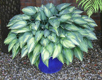 Medium bali hai hosta june original