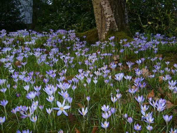Crocus, Part-Y-Seal Gardens