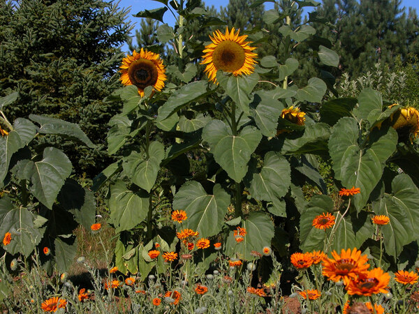 Sunflowers and orange venediums, Grand-Portage Garden