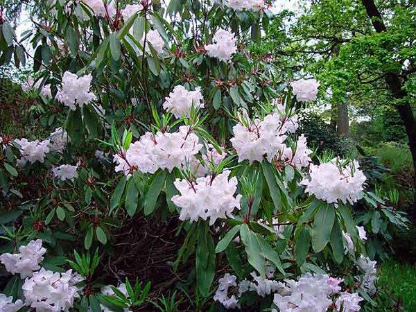 R. loderi King George, Dunge Valley Rhododendron Gardens
