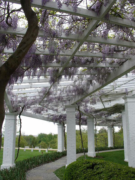 Wisteria, Arlington House Garden