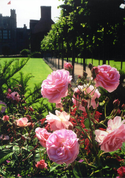 Roses, Coughton Court