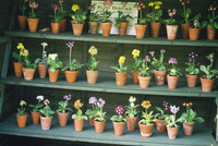 Medium pops plants auriculas original
