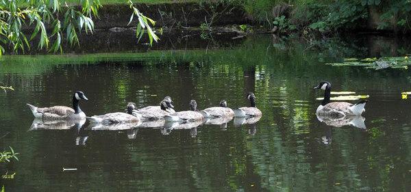 Canada Geese, Ingatestone Hall Garden