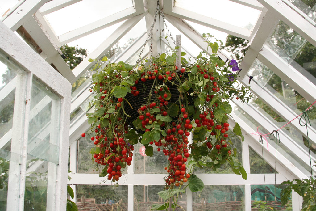 Hanging Basket of Cherry Tomatoes, The Growing Tastes Allotment Garden