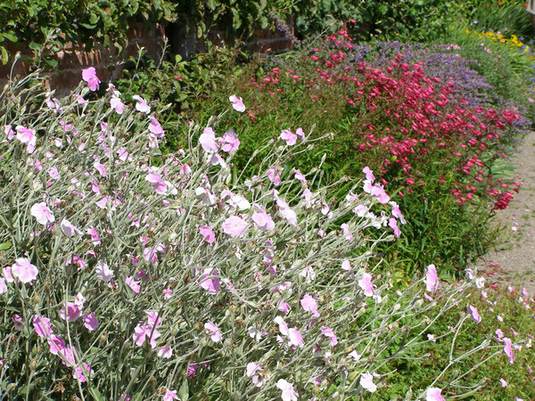 Lychnis, Penstemon and Nepeta