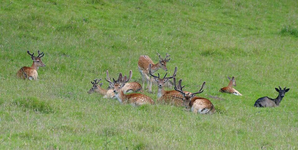 Deer, Dinefwr Park and Castle