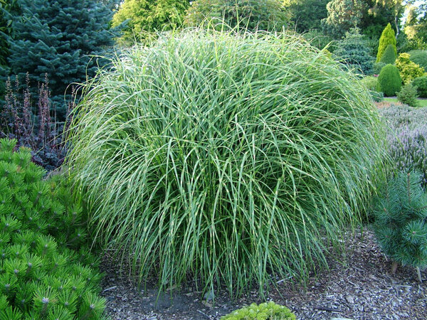Ornamental Grass, Foxhollow Garden