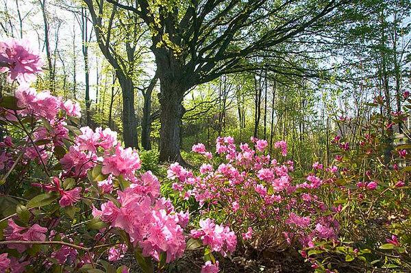 Rhododendrons, Frederik Meijer Gardens