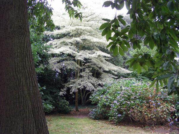 Cornus, Goodnestone Park Gardens