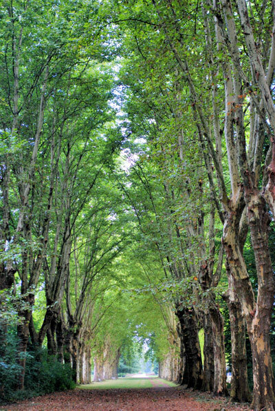 Plane Tree Allee, Parc de Schoppenwihr