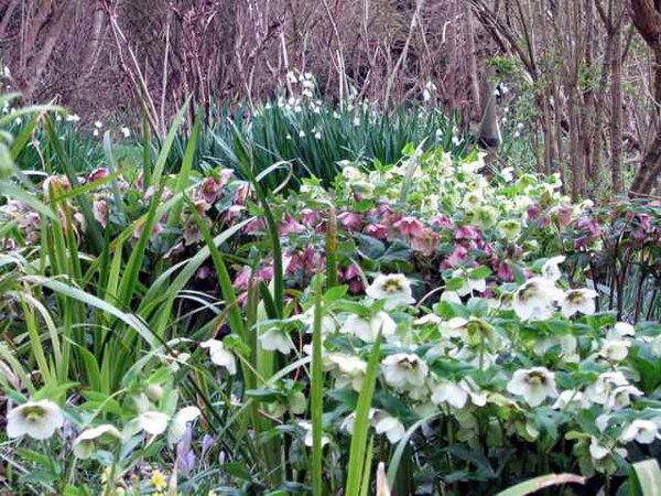 Helleborus orientalis, Highdown Gardens