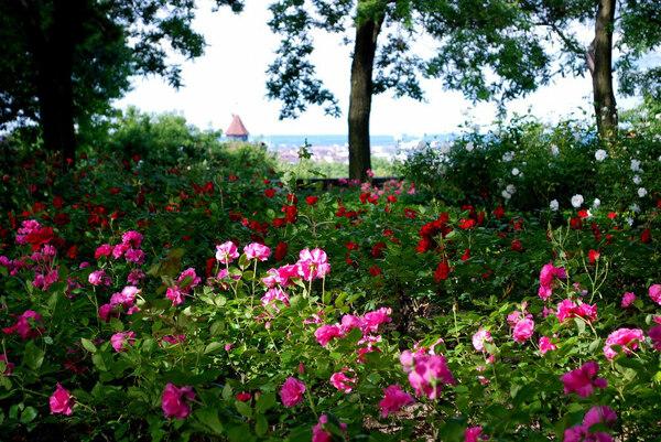 Roses, Kaiserburg Nuremberg