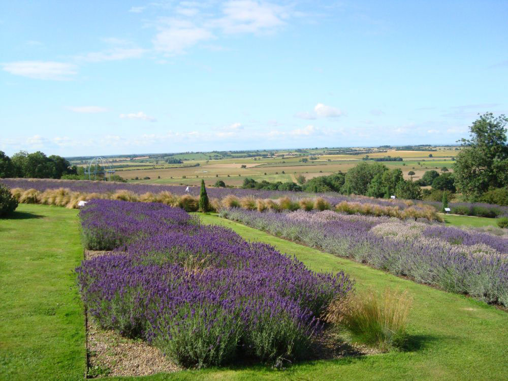 Yorkshire Lavender Garden, North Yorkshire