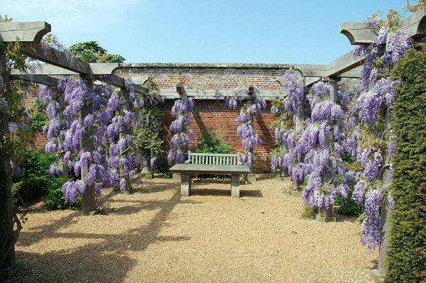 Wisteria, Houghton Hall Garden