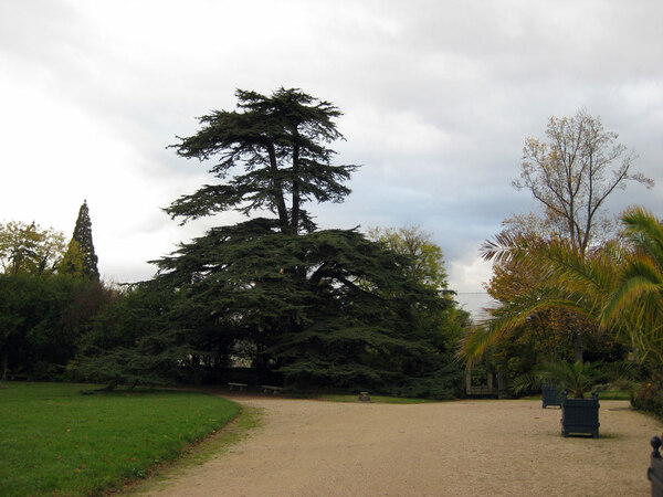 Cedar, Parc de Malmaison