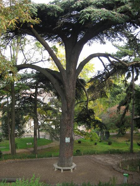 Cedar of Lebanon, Jardin des Plantes