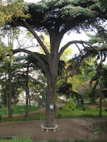 Medium jardin plantes cedar original