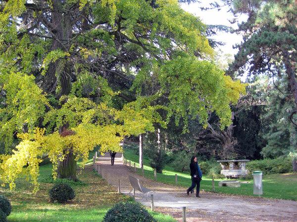 Ginkgo, Jardin des Plantes