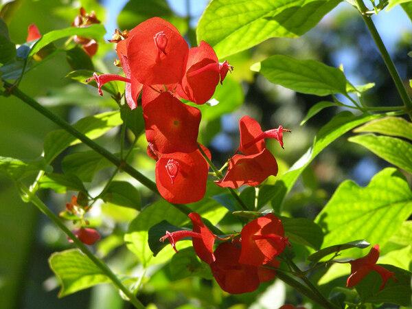 Holmskioldia sanguinea, The Kampong