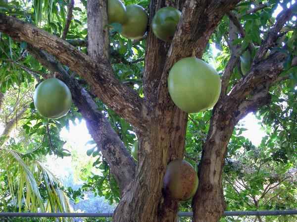 Calabash Tree, The Kampong
