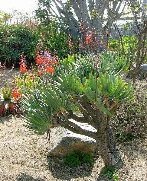 Aloe plicatilis, UCI